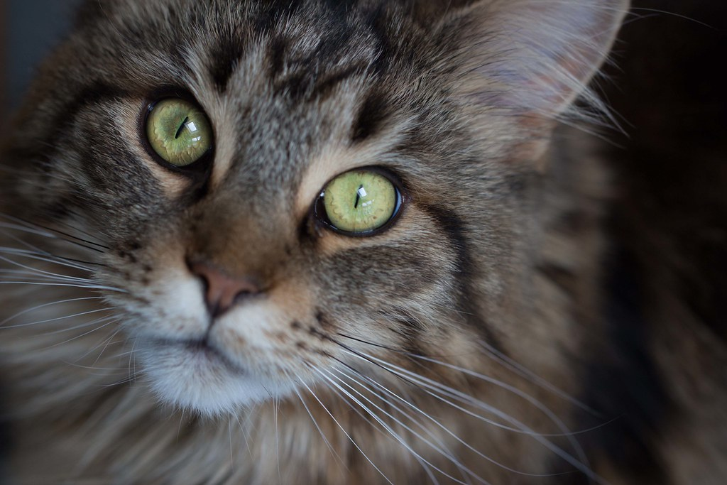 Cookie - black and ginger tabby Maine Coon