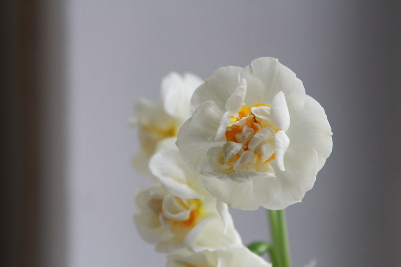 bridal crown daffodils