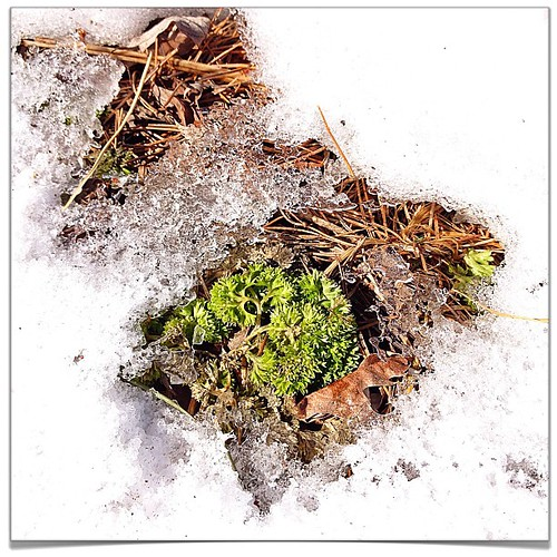 Mar 17 - green {my parsley is coming up through the snow} #fmsphotoaday #green #photoaday