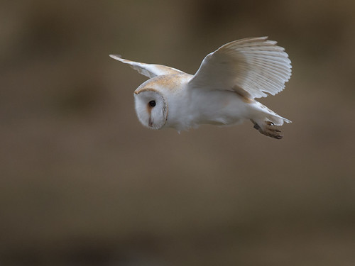 Barn Owl-early morning flight
