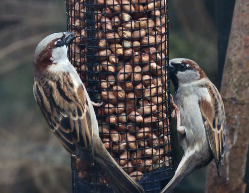 House sparrows (Passer domesticus, m)