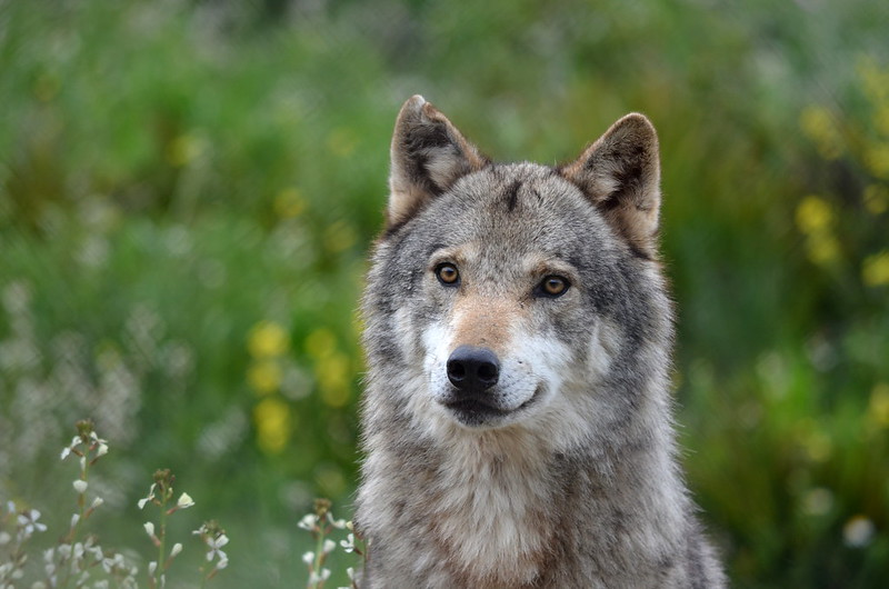Iberian Wolf (Captive)