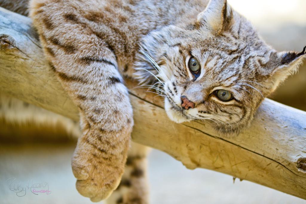 Beautiful Sand Cat
