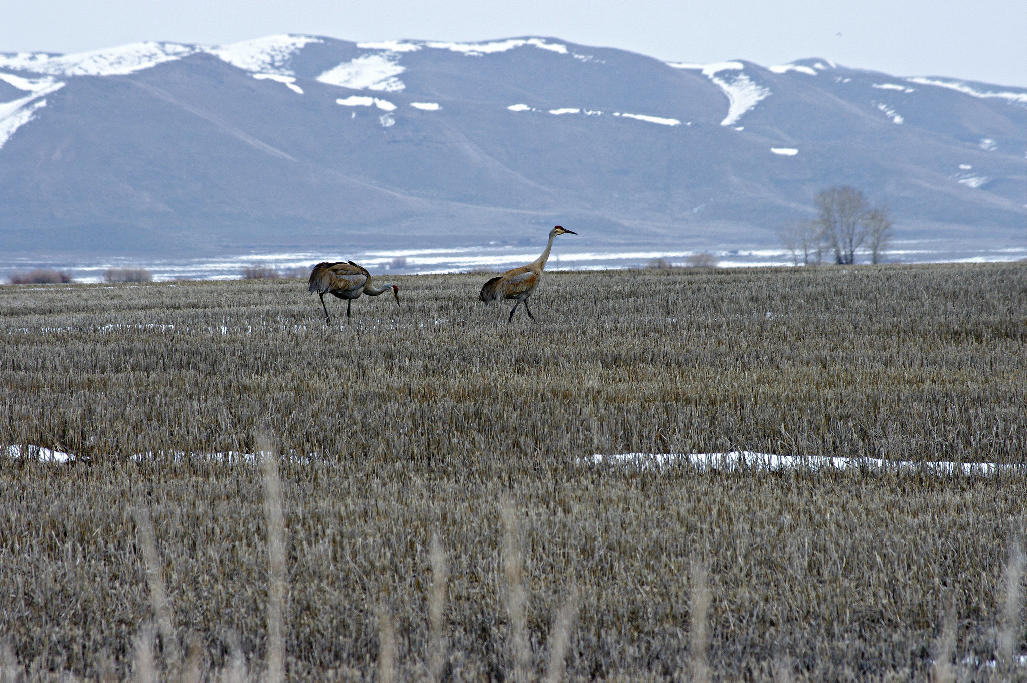 Sandhill Cranes in a field of stubble in the near Fairfield Idaho
