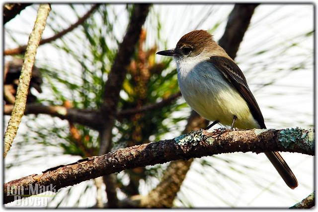 LaSagra's Flycatcher, Bahamas