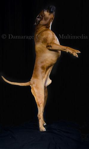 Boxer poniéndose de pie