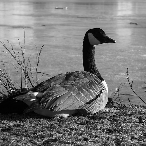 Week 13/52 - The lone duck by Flubie