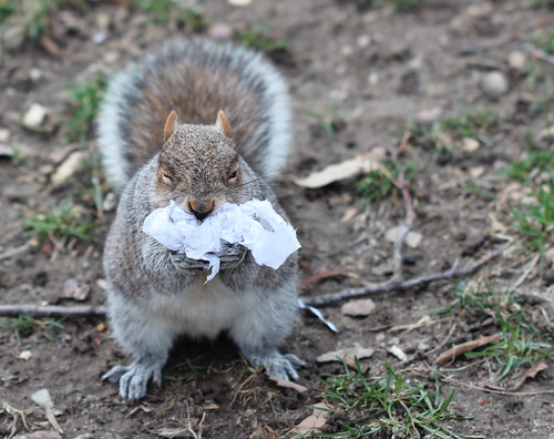 squirrel in Wash. Sq. Park forcing a wadded up plastic bag down its throat