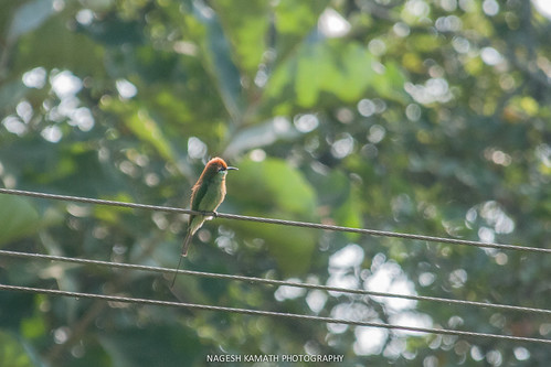 Chestnut-headed Bee Eater