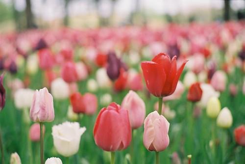 tulip under cloud
