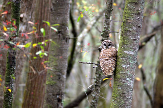 Beidler Forest Barred Owl