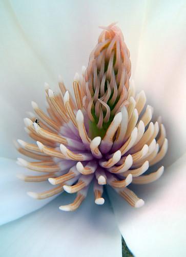 inside the white magnolia