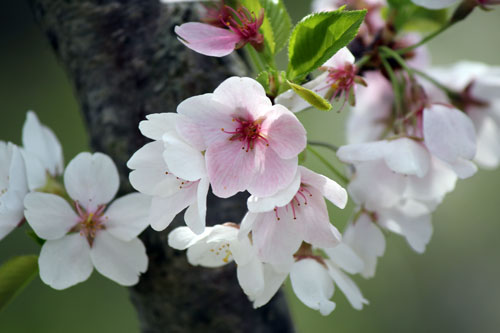 cherry blossoms: meadowlark botanical gardens