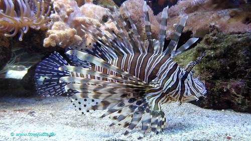 Scorpionfish, Zeist, Netherlands - 1195