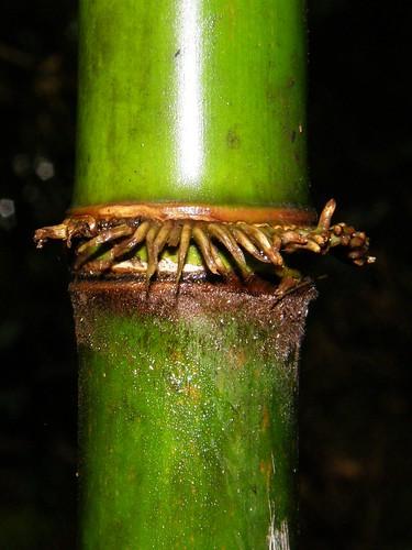 Bambú. Detalle