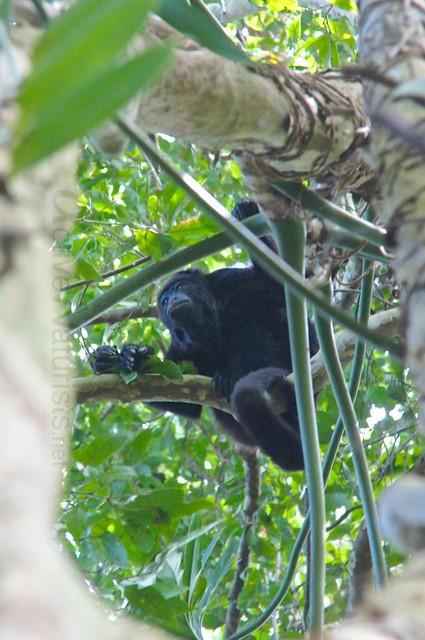spider monkey 0004 Palenque, Chiapas, Mexico