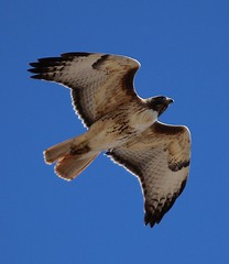 Red-Tailed Hawk_17