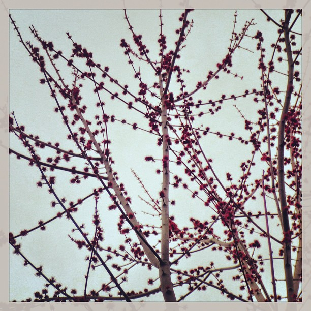 Apr 20 - buds {buds on my oak tree} #photoaday #buds #spring #princeedwardcounty