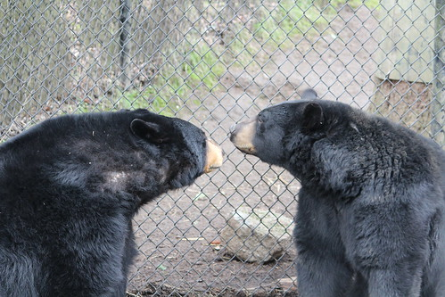 Black Bears at the Zoo (3)