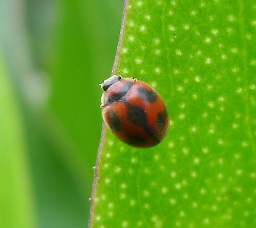 Rodolia cardinalis. Coccinellidae