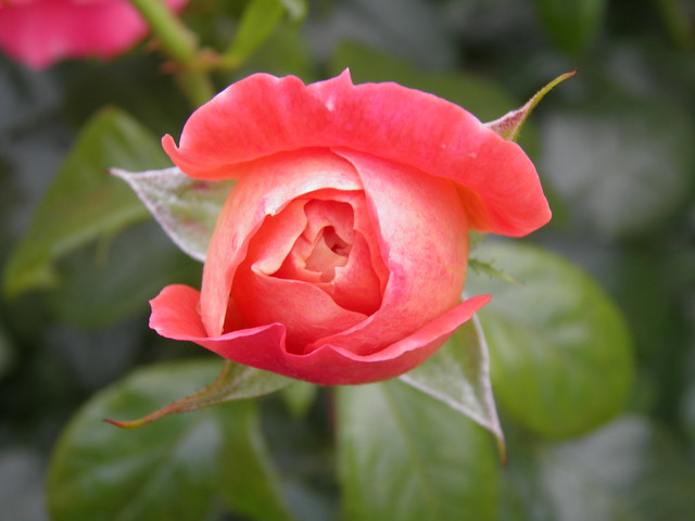 Rosa 'Queen of Hearts'