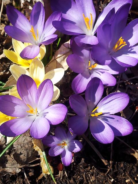 purple and yellow snow crocus spring 13