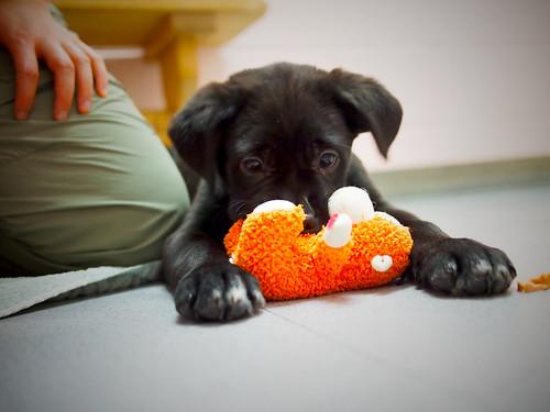 Black Lab puppies (P10)