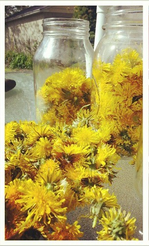 Pick 2 quarts dandelion flowers, remove base, add gallon of boiling water, let sit two days.
