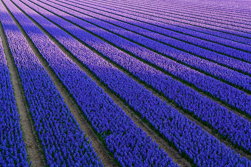 Shadows on the hyacinth fields by Frans.Sellies (off for a while)