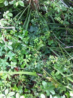 Blackberry vines among the greenery