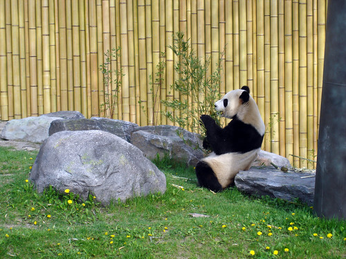 giant panda bears - toronto zoo