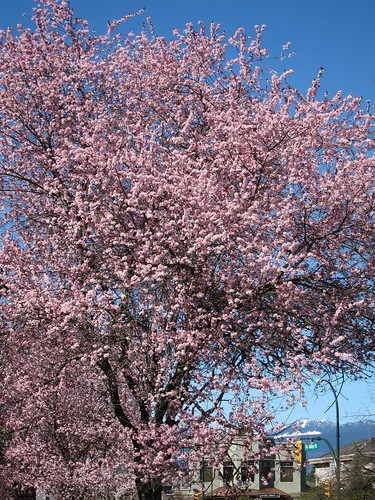 Not the Cherry Blossom Special (3/6)