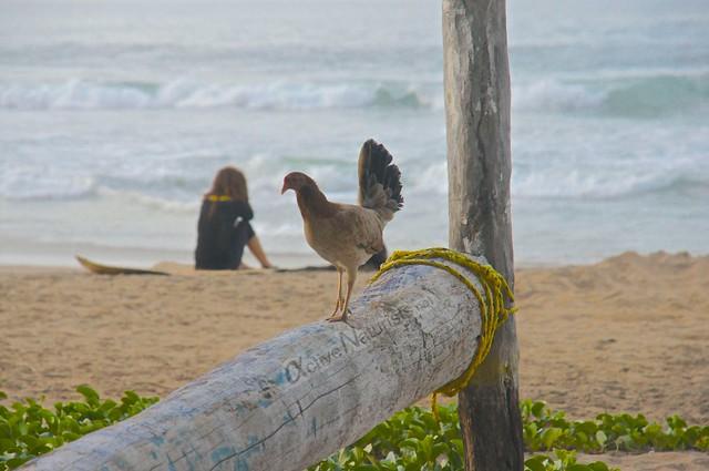 chicken 0012 Zipolite, Oaxaca, Mexico