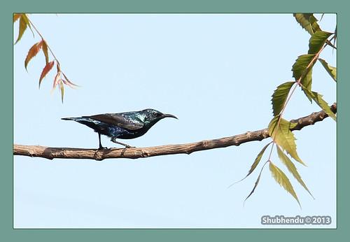 Purple Sunbird by ShubhenduPhotography
