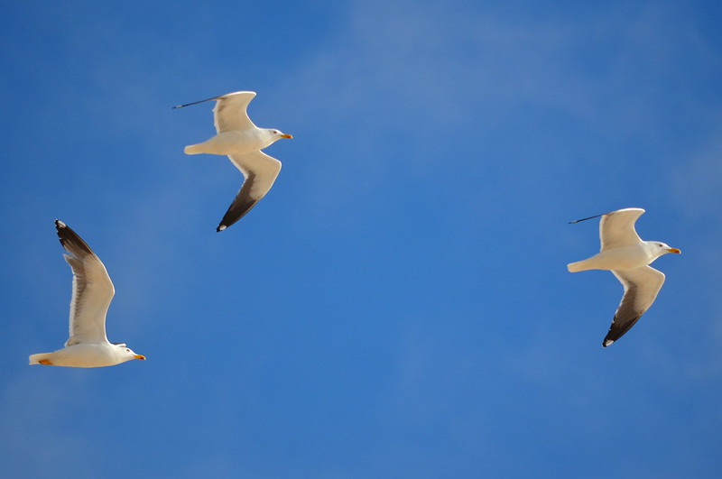 Yellow Legged Gulls