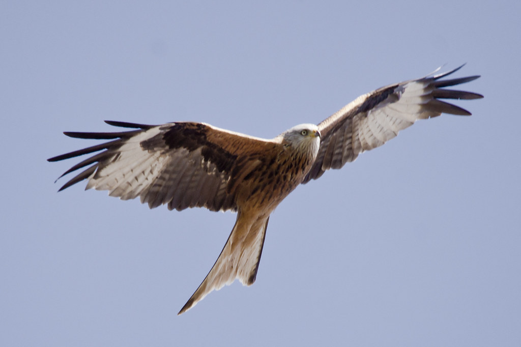 Frofield Red Kite 3