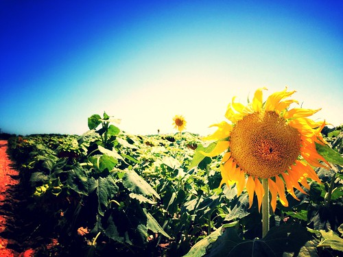 Castroville sunflowers