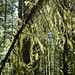 Moss Tree D7K_4698