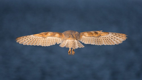 Barn Owl-rear view hover