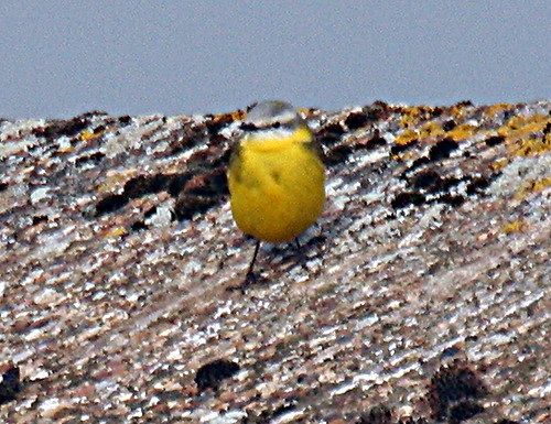 Channel Wagtail Motacilla flava x flavissima Tophill Low NR, East Yorkshire April 2013