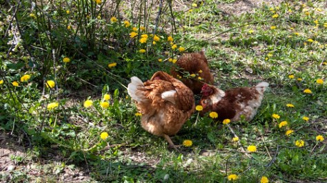 Chickens having their siesta