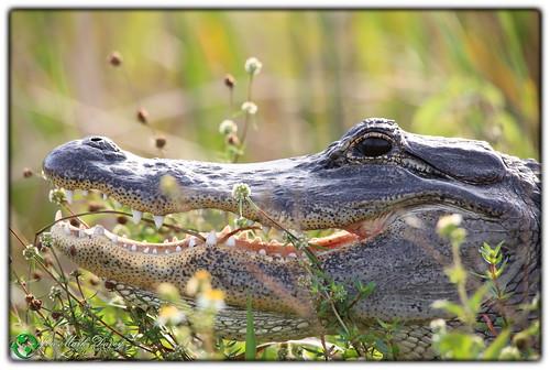 Alice Alligator