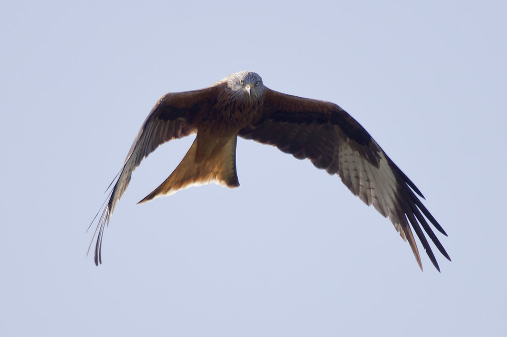Froxfield red kite