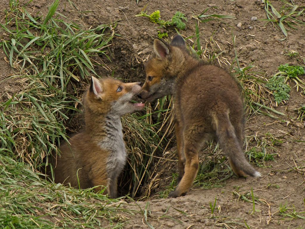 Petits renards jouant en famille  La Petite Chambre Noire