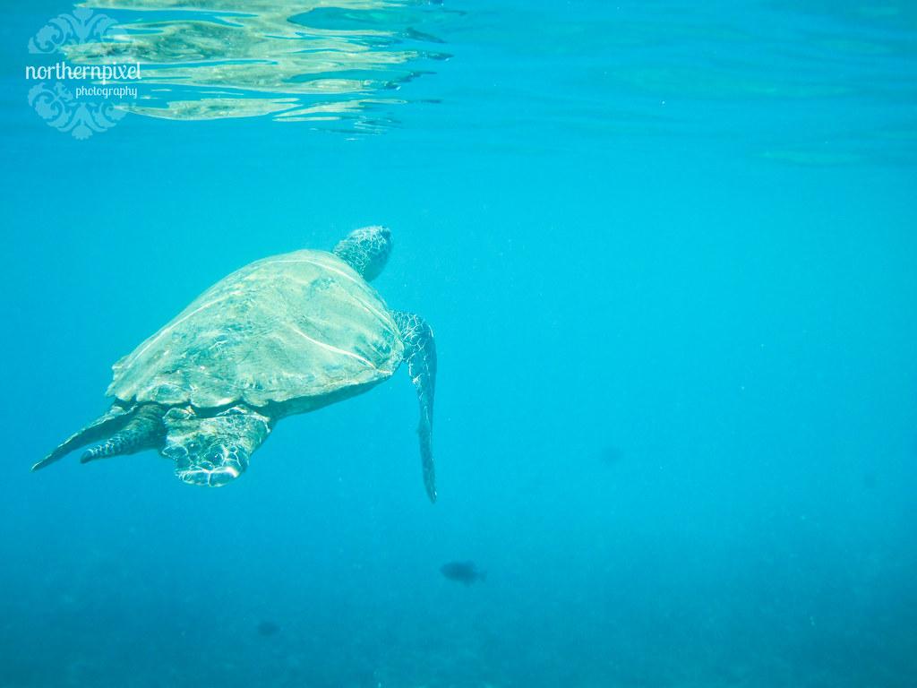 Palauea Beach Turtle Snorkelling Turtle Town Maui