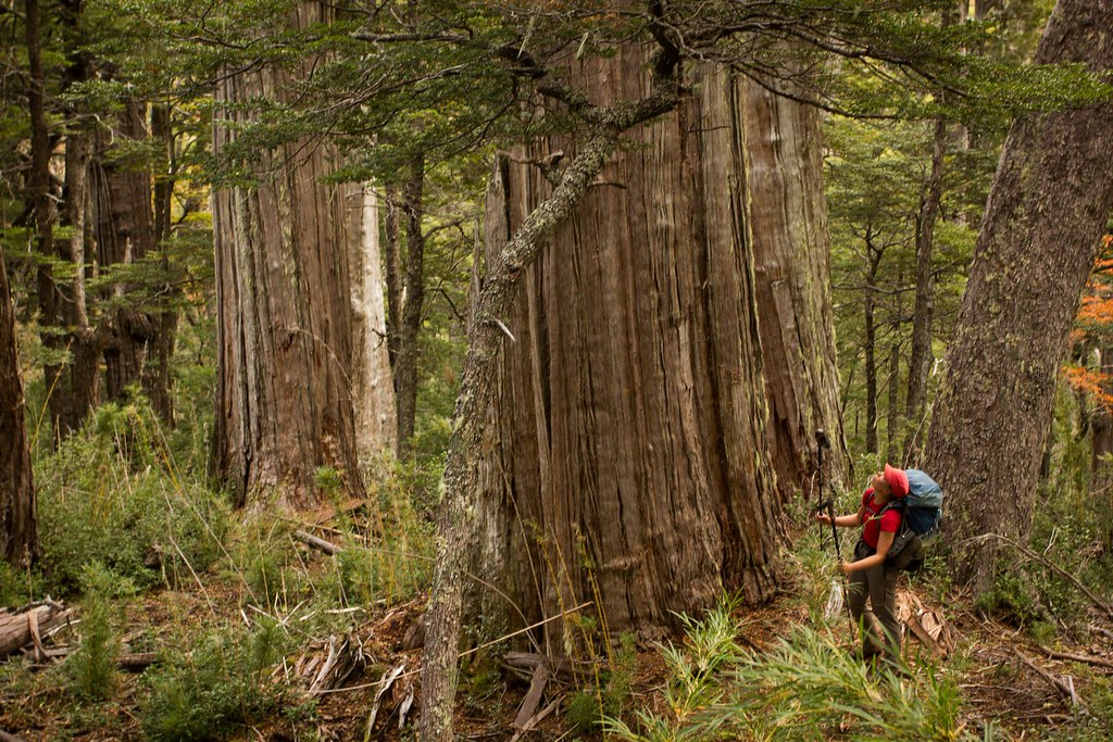 Stands of 3000 year old Alerce trees in the rain forrest. Comarca Andina. El Bolson. Argentina.