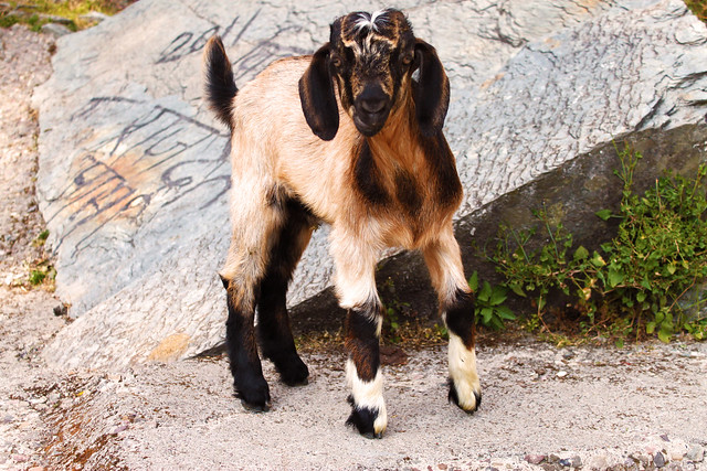 A mountain goat, staring directly into the camera.