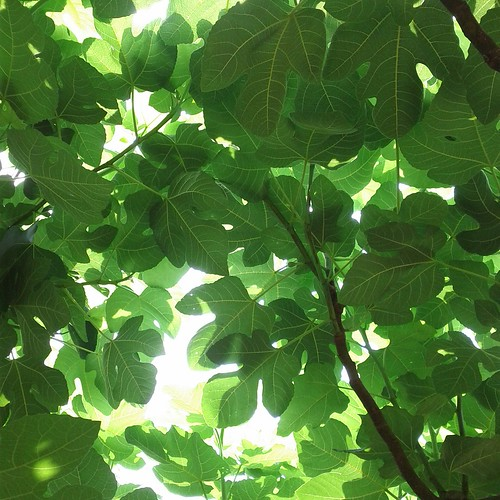 Under a fig tree