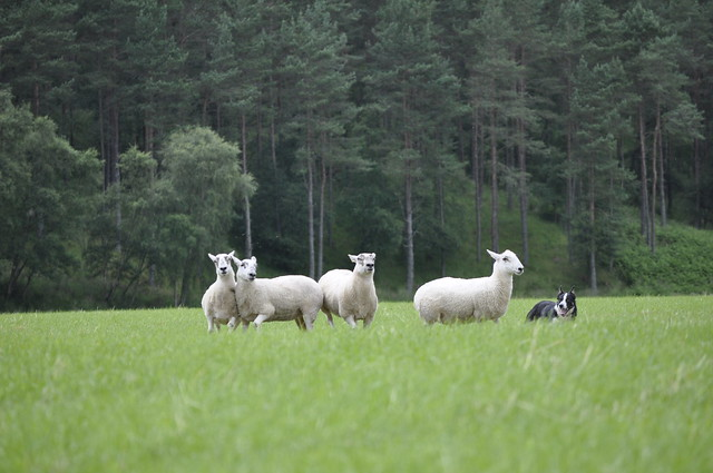 2012-07-22 Sheepdog trials 04