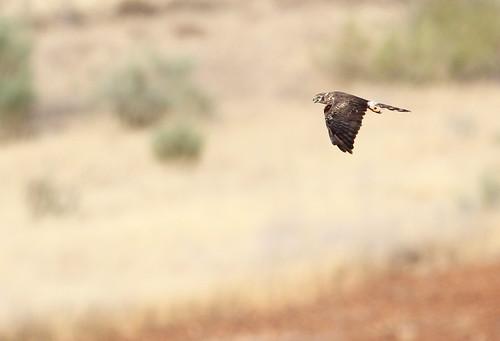 2012_07_25 VV - Montagu's Harrier - female (Circus pygargus) 04